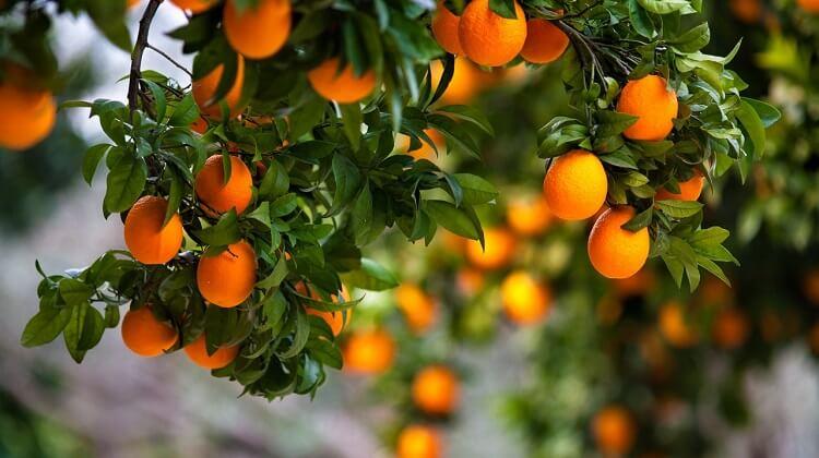 Запах жасмина апельсиновых деревьев.